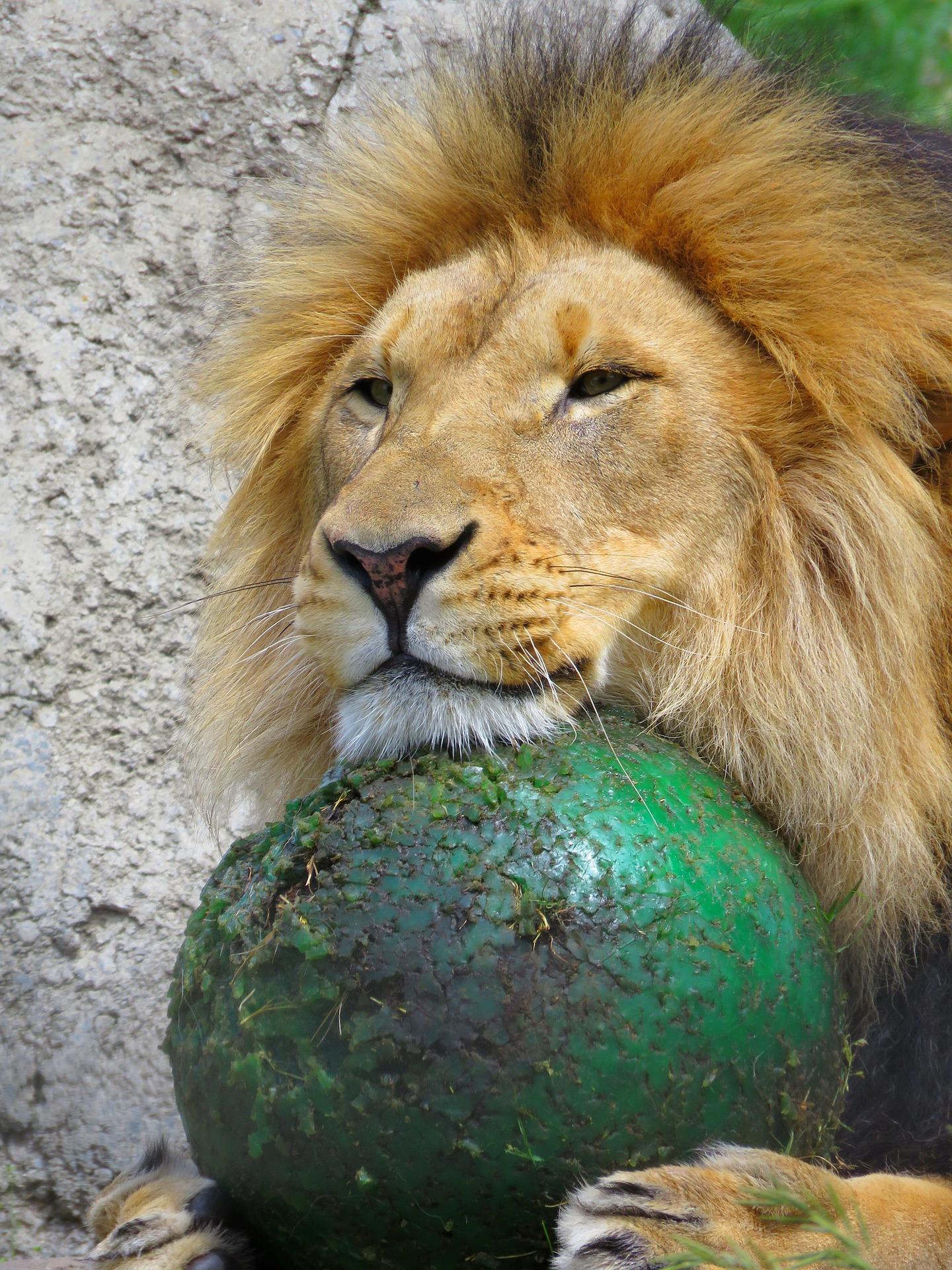 lion-1502933_1920
